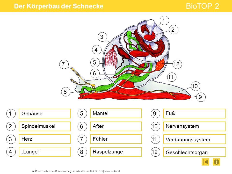 © Österreichischer Bundesverlag Schulbuch GmbH & Co KG | www.oebv.at BioTOP 2 Der Körperbau der Schnecke 1 3 4 5 6 7 Lunge Fühler After 9 10 Geschlechtsorgan Nervensystem Verdauungssystem Mantel Raspelzunge 2 8 11 12 Gehäuse Spindelmuskel Fuß Herz 9 1 2 3 4 5 6 7 8 10 11 12