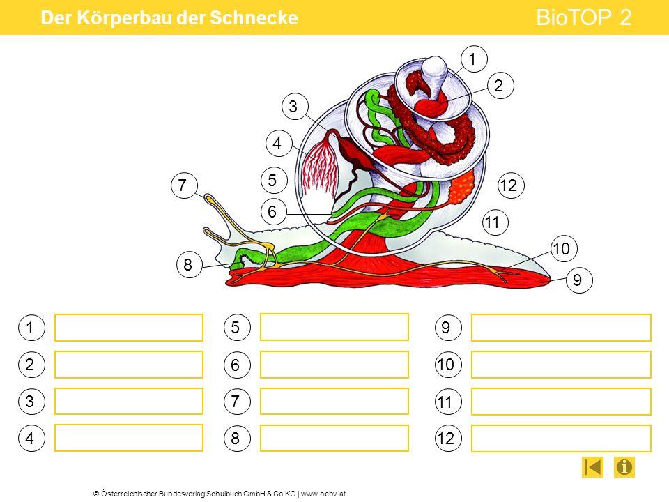 © Österreichischer Bundesverlag Schulbuch GmbH & Co KG   www.oebv.at BioTOP 2 Der Körperbau der Schnecke 1 3 4 5 6 7 9 102 8 11 12 1 2 3 4 5 6 7 8 9 1