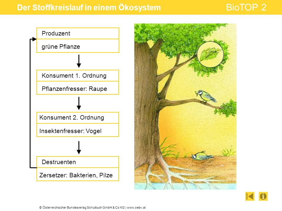 © Österreichischer Bundesverlag Schulbuch GmbH & Co KG | www.oebv.at BioTOP 2 Der Stoffkreislauf in einem Ökosystem Produzent grüne Pflanze Konsument 1.