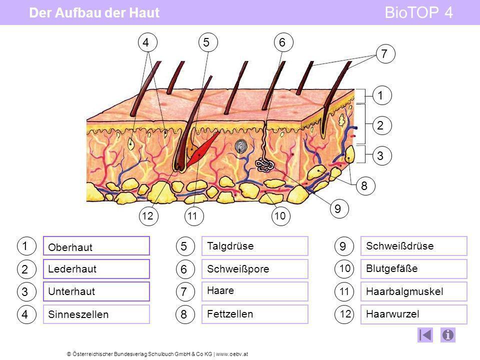 © Österreichischer Bundesverlag Schulbuch GmbH & Co KG | www.oebv.at BioTOP 4 Der Aufbau der Haut 1 2 3 4 5 6 7 8 9 Oberhaut Lederhaut Unterhaut Sinne