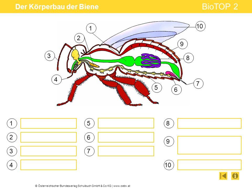 © Österreichischer Bundesverlag Schulbuch GmbH & Co KG | www.oebv.at BioTOP 2 Der Körperbau der Biene 1 3 4 5 6 7 8 9 10 1 2 3 7 8 9 4 5 6 2
