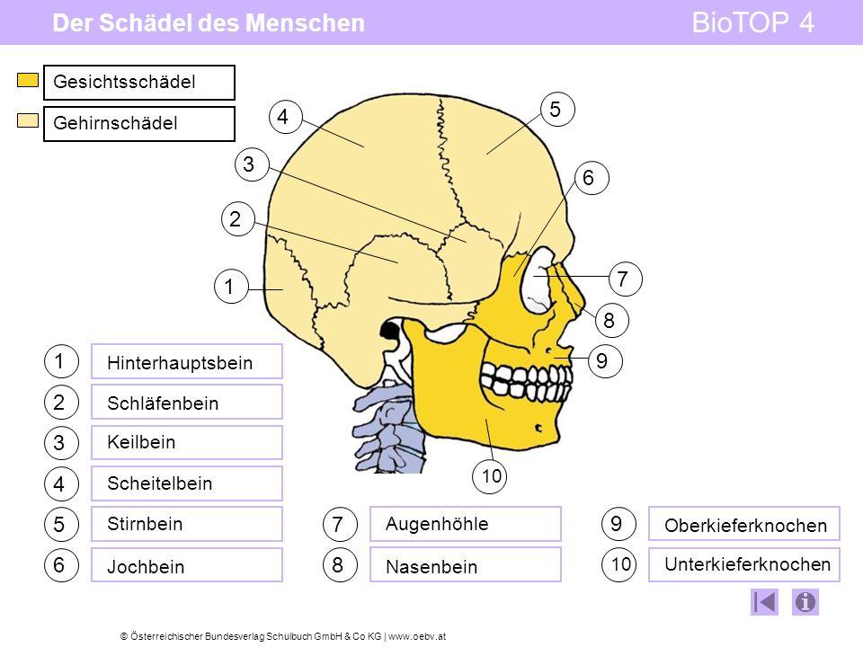 © Österreichischer Bundesverlag Schulbuch GmbH & Co KG | www.oebv.at BioTOP 4 Der Schädel des Menschen 3 1 2 4 5 6 7 8 9 10 1 2 3 4 5 6 9 8 7 Hinterhauptsbein Schläfenbein Keilbein Scheitelbein Stirnbein Jochbein Augenhöhle Nasenbein Oberkieferknochen Unterkieferknochen Gesichtsschädel Gehirnschädel