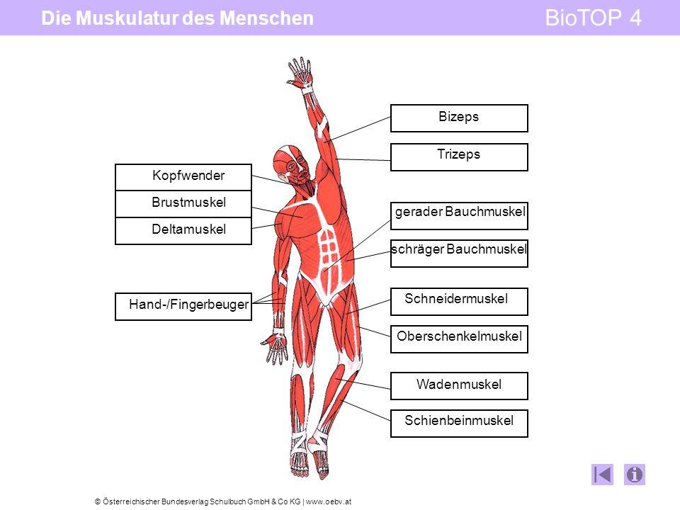 © Österreichischer Bundesverlag Schulbuch GmbH & Co KG   www.oebv.at BioTOP 4 Die Muskulatur des Menschen Kopfwender Brustmuskel Deltamuskel Hand-/Fin