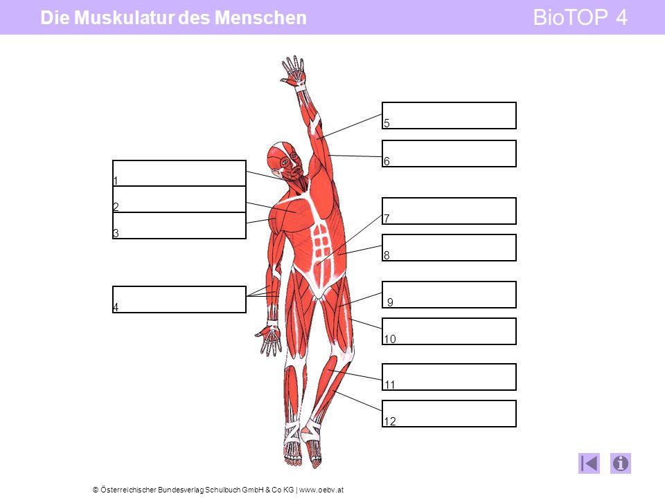 © Österreichischer Bundesverlag Schulbuch GmbH & Co KG   www.oebv.at BioTOP 4 Die Muskulatur des Menschen 1 2 3 6 5 7 8 9 10 11 12 4