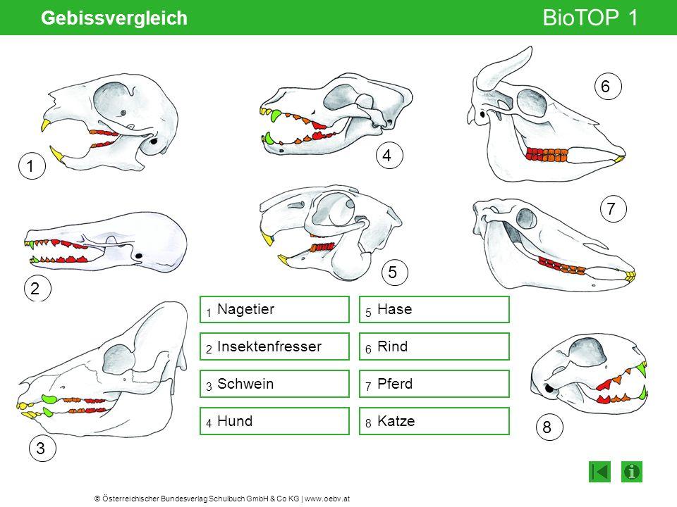 © Österreichischer Bundesverlag Schulbuch GmbH & Co KG | www.oebv.at BioTOP 1 Gebissvergleich Gelenksspalt 1 2 3 5 6 7 8 15 Nagetier Insektenfresser H