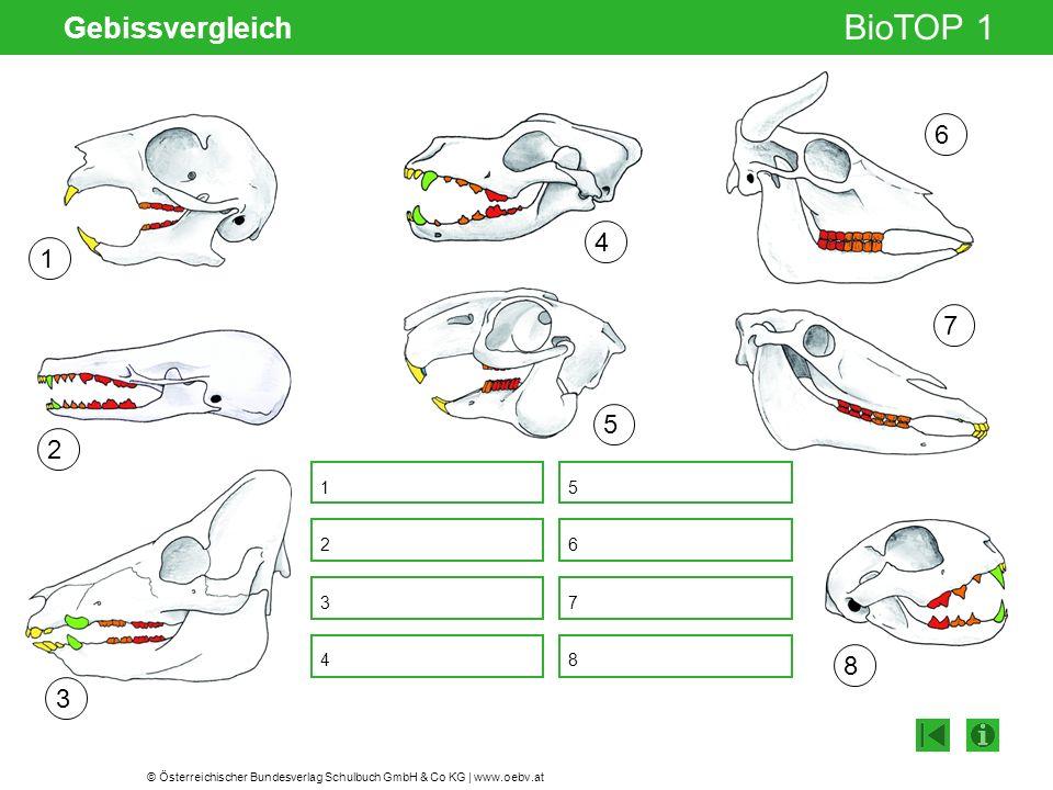 © Österreichischer Bundesverlag Schulbuch GmbH & Co KG | www.oebv.at BioTOP 1 Gebissvergleich Gelenksspalt 5 1 2 3 4 5 6 7 8 1 7 68342