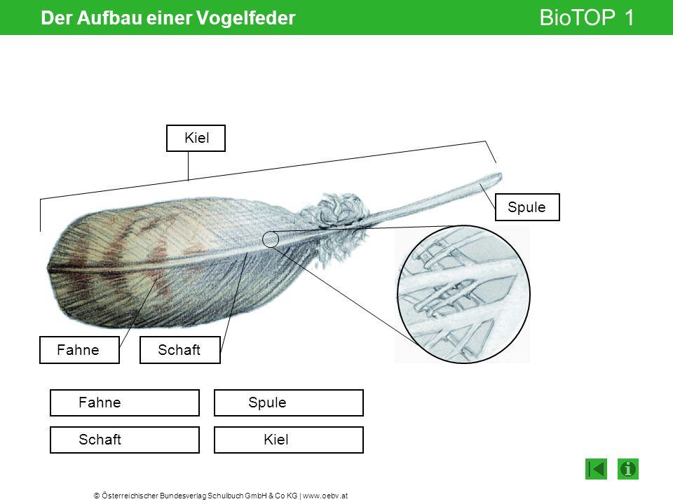 © Österreichischer Bundesverlag Schulbuch GmbH & Co KG | www.oebv.at BioTOP 1 Der Aufbau einer Vogelfeder Gelenksspalt Fahne Schaft Spule Kiel FahneSc