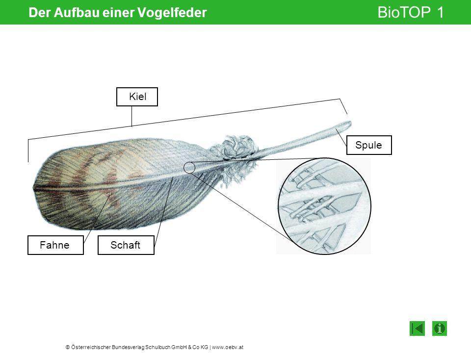 © Österreichischer Bundesverlag Schulbuch GmbH & Co KG | www.oebv.at BioTOP 1 Der Aufbau einer Vogelfeder Gelenksspalt Schaft Spule Fahne Kiel