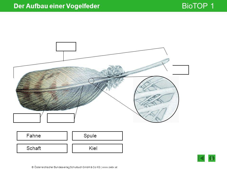 © Österreichischer Bundesverlag Schulbuch GmbH & Co KG | www.oebv.at BioTOP 1 Der Aufbau einer Vogelfeder Gelenksspalt Fahne Schaft Spule Kiel