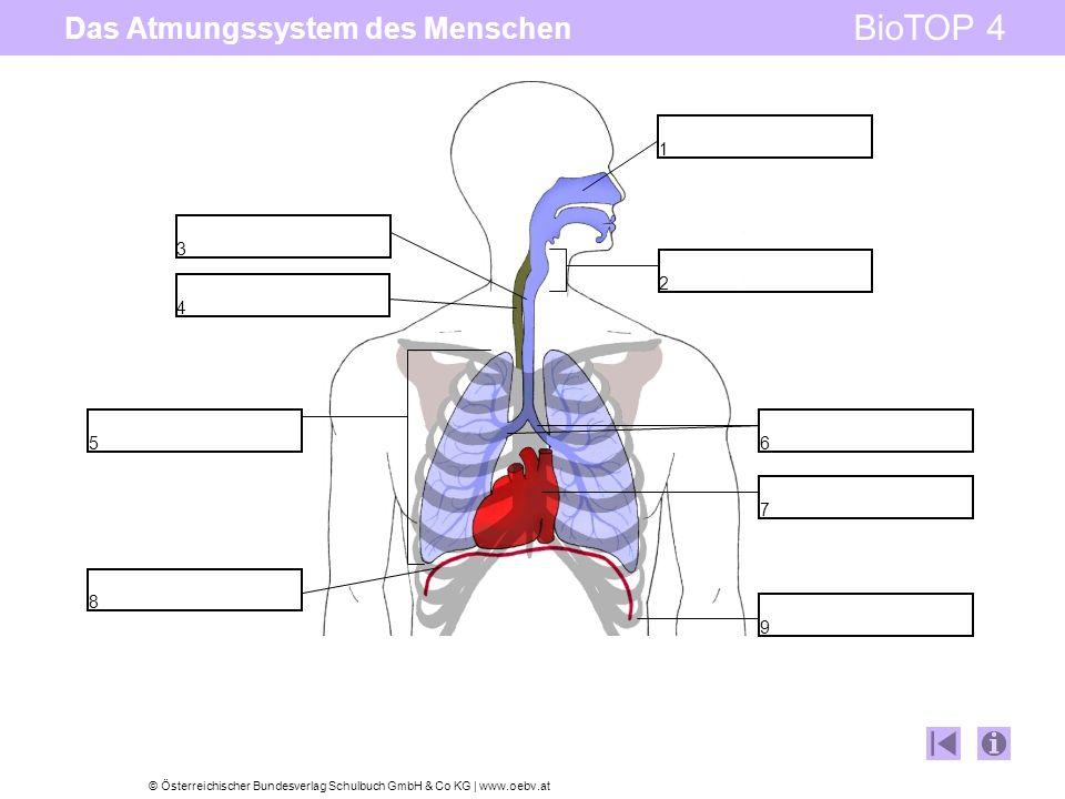 © Österreichischer Bundesverlag Schulbuch GmbH & Co KG | www.oebv.at BioTOP 4 Das Atmungssystem des Menschen 7 6 8 9 1 2 3 4 5