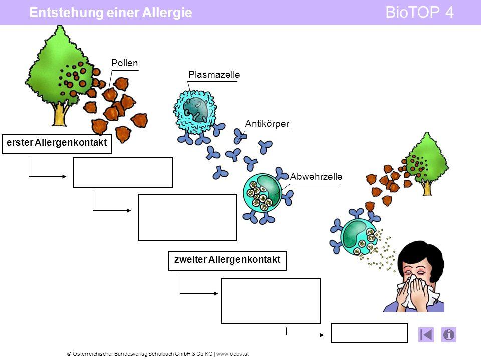 © Österreichischer Bundesverlag Schulbuch GmbH & Co KG | www.oebv.at BioTOP 4 Entstehung einer Allergie Pollen Plasmazelle Antikörper Abwehrzelle erster Allergenkontakt zweiter Allergenkontakt