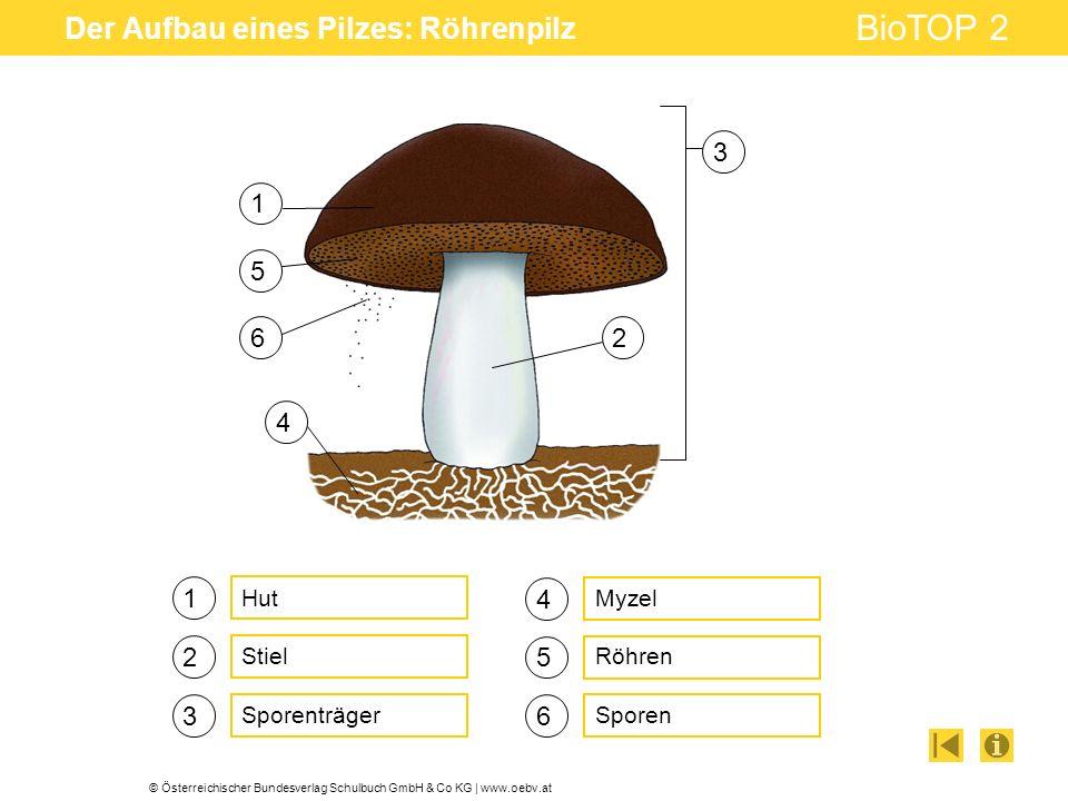 © Österreichischer Bundesverlag Schulbuch GmbH & Co KG | www.oebv.at BioTOP 2 Der Aufbau eines Pilzes: Röhrenpilz 1 2 3 4 5 6 Hut Stiel Sporenträger Myzel Röhren Sporen 1 2 3 4 5 6