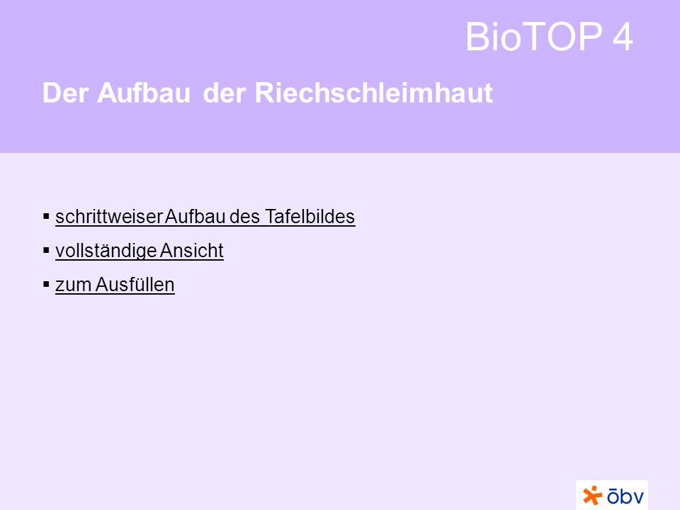 © Österreichischer Bundesverlag Schulbuch GmbH & Co KG | www.oebv.at BioTOP 4 Der Aufbau der Riechschleimhaut Schleimdrüse Riechhärchen Riechzelle Riechnervenfaser Schleimdrüse dünnflüssiger Schleim Siebbein RiechnervenfaserSiebbein dünnflüssiger Schleim RiechzelleRiechhärchen