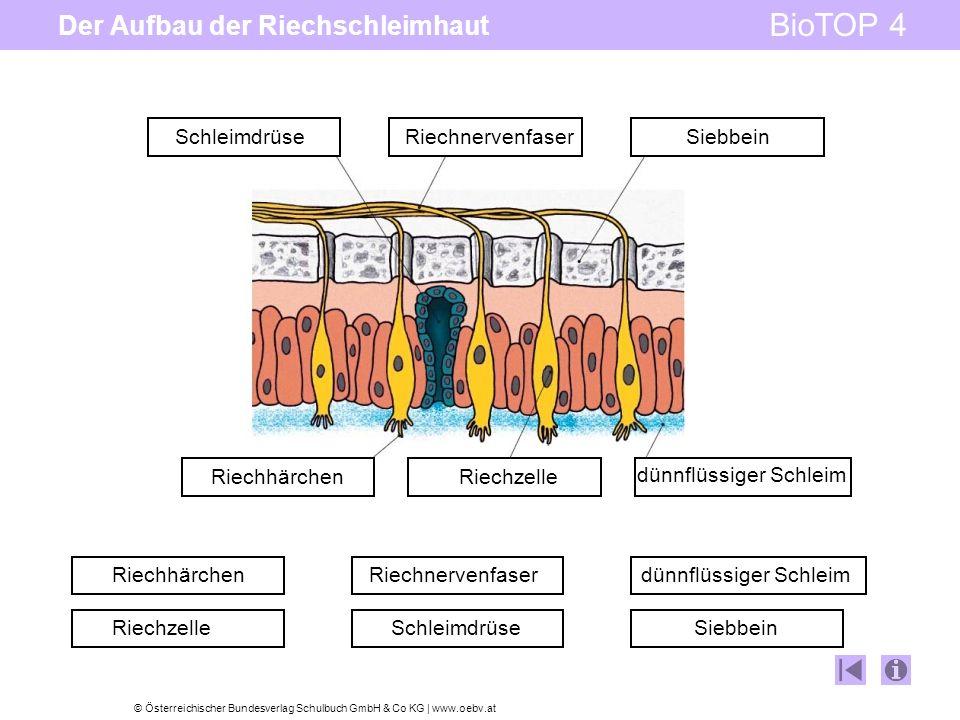 © Österreichischer Bundesverlag Schulbuch GmbH & Co KG | www.oebv.at BioTOP 4 Der Aufbau der Riechschleimhaut SchleimdrüseRiechnervenfaserSiebbein dünnflüssiger Schleim RiechzelleRiechhärchen