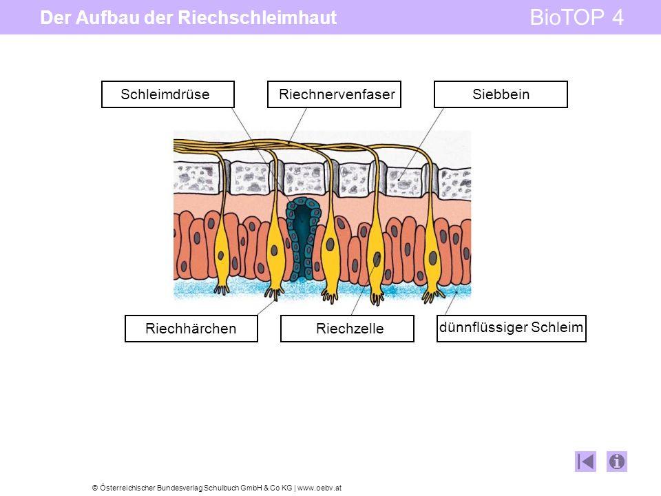 © Österreichischer Bundesverlag Schulbuch GmbH & Co KG | www.oebv.at BioTOP 4 Der Aufbau der Riechschleimhaut Riechhärchen Riechzelle Riechnervenfaser Schleimdrüse dünnflüssiger Schleim Siebbein