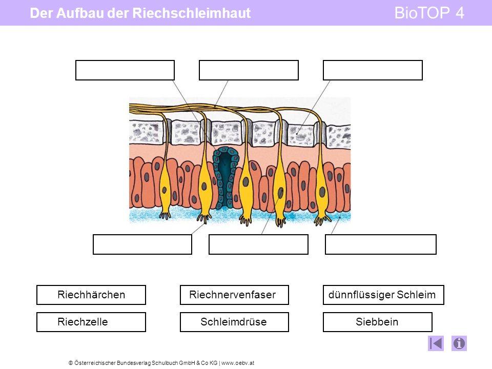 © Österreichischer Bundesverlag Schulbuch GmbH & Co KG   www.oebv.at BioTOP 4 Der Aufbau der Riechschleimhaut Riechhärchen Riechzelle Riechnervenfaser