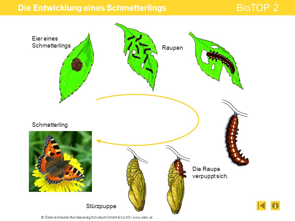 © Österreichischer Bundesverlag Schulbuch GmbH & Co KG | www.oebv.at BioTOP 2 Die Entwicklung eines Schmetterlings Raupen Die Raupe verpuppt sich. Stü