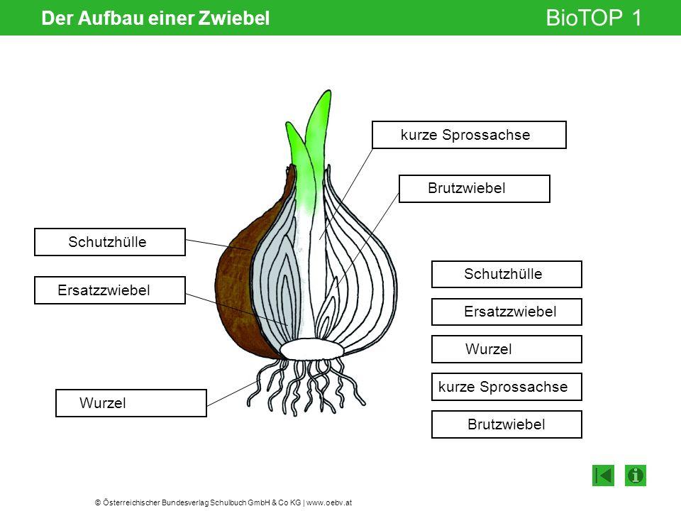 © Österreichischer Bundesverlag Schulbuch GmbH & Co KG | www.oebv.at BioTOP 1 Der Aufbau einer Zwiebel Schutzhülle Ersatzzwiebel Wurzel kurze Sprossac