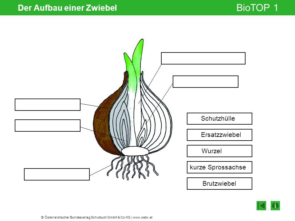 © Österreichischer Bundesverlag Schulbuch GmbH & Co KG | www.oebv.at BioTOP 1 Der Aufbau einer Zwiebel Schutzhülle Ersatzzwiebel Wurzel Brutzwiebel ku