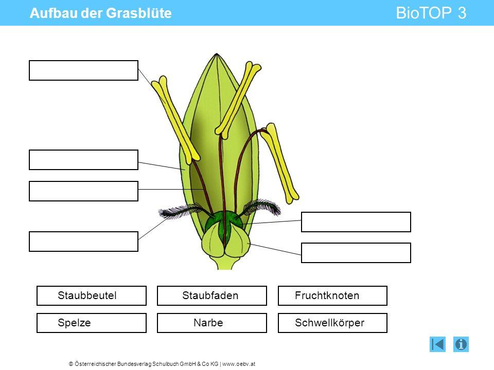 © Österreichischer Bundesverlag Schulbuch GmbH & Co KG | www.oebv.at BioTOP 3 Aufbau der Grasblüte Staubbeutel Spelze Staubfaden Narbe Fruchtknoten Sc