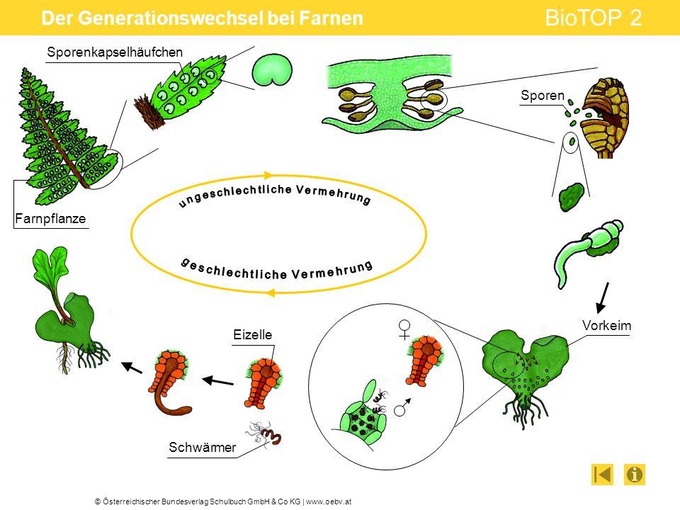 © Österreichischer Bundesverlag Schulbuch GmbH & Co KG | www.oebv.at BioTOP 2 Der Generationswechsel bei Farnen Sporenkapselhäufchen Sporen Vorkeim Sc
