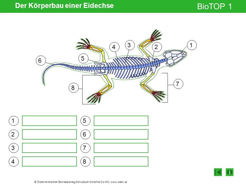 © Österreichischer Bundesverlag Schulbuch GmbH & Co KG | www.oebv.at BioTOP 1 Der Körperbau einer Eidechse Schädel Schulterblatt Rippen Wirbelsäule Becken Schwanz Armskelett Beinskelett