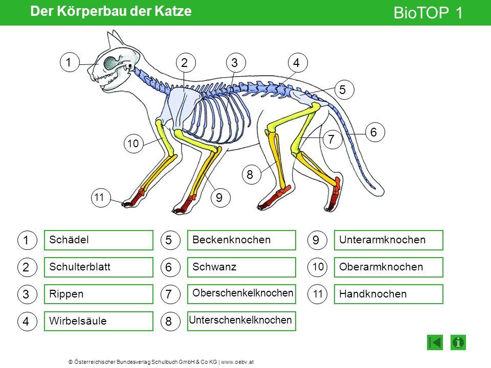 © Österreichischer Bundesverlag Schulbuch GmbH & Co KG | www.oebv.at BioTOP 1 Der Körperbau der Katze 1 2 3 4 5 6 7 8 9 1110 43 5 2 1 7 6 9 11 8