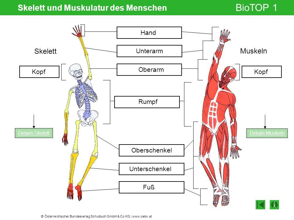 © Österreichischer Bundesverlag Schulbuch GmbH & Co KG | www.oebv.at BioTOP 1 Skelett und Muskulatur des Menschen Hand Unterarm Oberarm Oberschenkel U