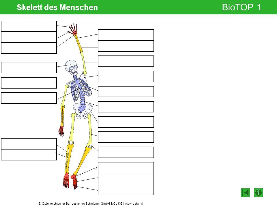 © Österreichischer Bundesverlag Schulbuch GmbH & Co KG | www.oebv.at BioTOP 1 Skelett des Menschen