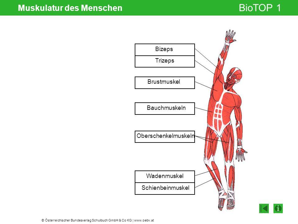 © Österreichischer Bundesverlag Schulbuch GmbH & Co KG | www.oebv.at BioTOP 1 Muskulatur des Menschen Bizeps Trizeps Brustmuskel Bauchmuskeln Obersche