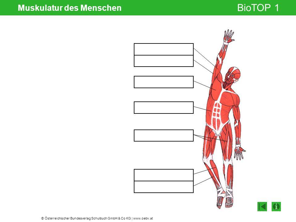 © Österreichischer Bundesverlag Schulbuch GmbH & Co KG | www.oebv.at BioTOP 1 Muskulatur des Menschen