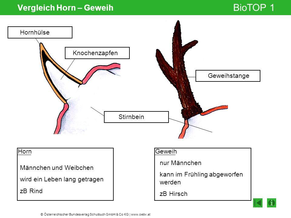 © Österreichischer Bundesverlag Schulbuch GmbH & Co KG | www.oebv.at BioTOP 1 Vergleich Horn – Geweih Stirnbein Hornhülse Knochenzapfen Geweihstange G