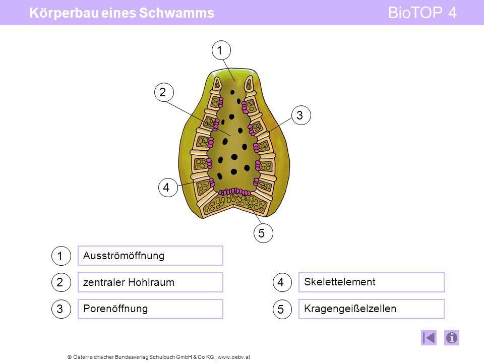 © Österreichischer Bundesverlag Schulbuch GmbH & Co KG   www.oebv.at BioTOP 4 Körperbau eines Schwamms 1 Ausströmöffnung zentraler Hohlraum Porenöffnu