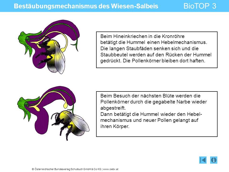 © Österreichischer Bundesverlag Schulbuch GmbH & Co KG | www.oebv.at BioTOP 3 Bestäubungsmechanismus des Wiesen-Salbeis Beim Hineinkriechen in die Kronröhre betätigt die Hummel einen Hebelmechanismus.