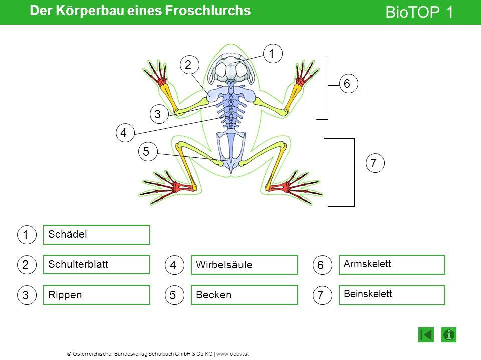 © Österreichischer Bundesverlag Schulbuch GmbH & Co KG | www.oebv.at BioTOP 1 Der Körperbau eines Froschlurchs 1 2 3 4 5 6 7 Schädel Schulterblatt Rippen Wirbelsäule Becken Armskelett Beinskelett 6 7 1 2 3 4 5
