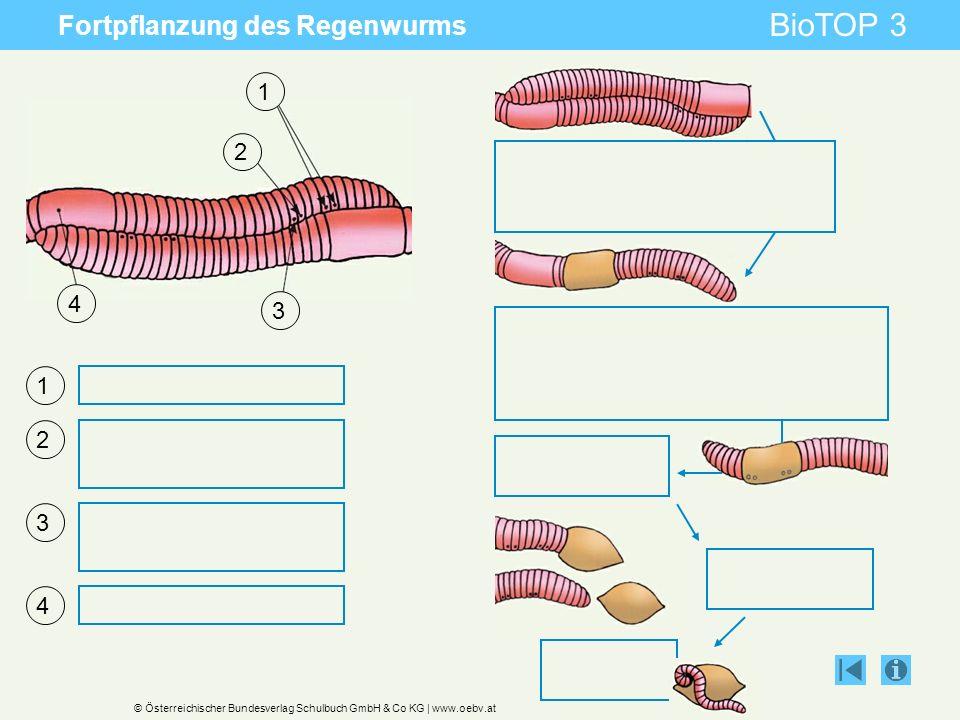© Österreichischer Bundesverlag Schulbuch GmbH & Co KG | www.oebv.at BioTOP 3 Fortpflanzung des Regenwurms 1 2 3 4 1 2 3 4