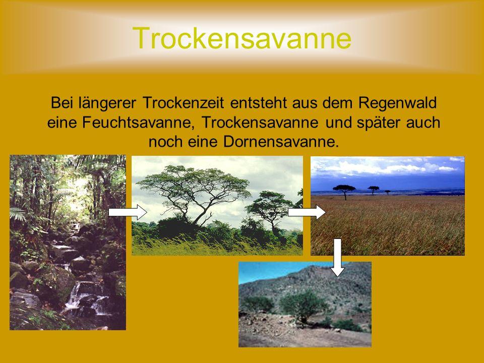 Bei längerer Trockenzeit entsteht aus dem Regenwald eine Feuchtsavanne, Trockensavanne und später auch noch eine Dornensavanne.