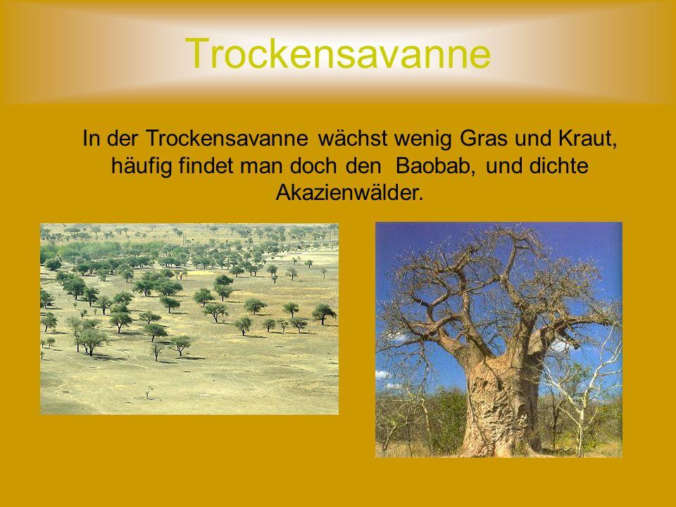 Trockensavanne In der Trockensavanne wächst wenig Gras und Kraut, häufig findet man doch den Baobab, und dichte Akazienwälder.