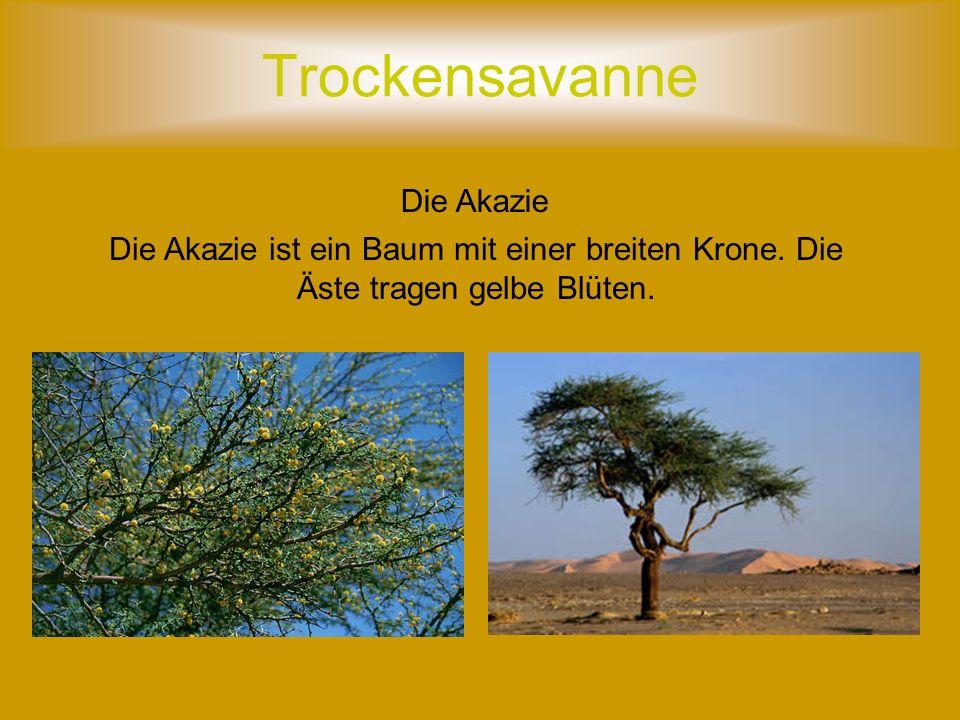 Trockensavanne Der Baobab Der Baobab ist ein breitstammiger Baum, seine Äste tragen wenige Blätter.