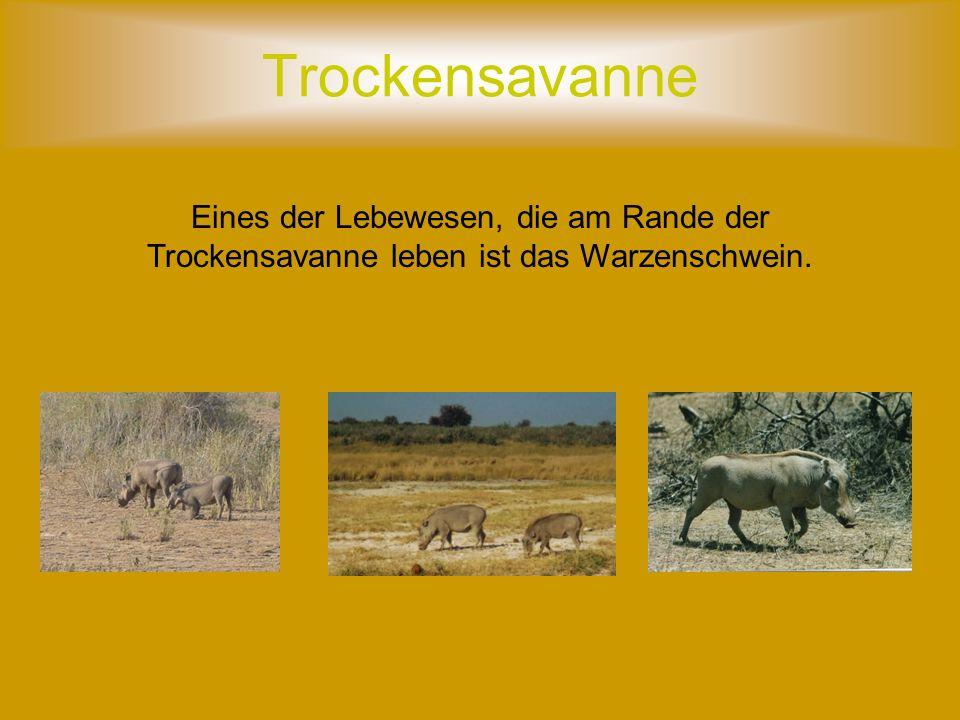 Trockensavanne Eines der Lebewesen, die am Rande der Trockensavanne leben ist das Warzenschwein.