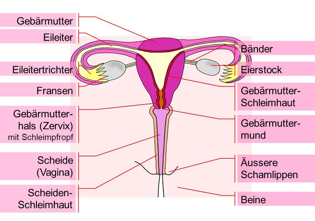 Gebärmutter Eileiter EileitertrichterEierstock Bänder Fransen Gebärmutter- Schleimhaut Gebärmutter- hals (Zervix) mit Schleimpfropf Gebärmutter- mund
