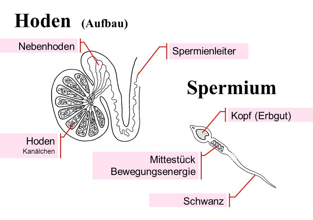 Kopf (Erbgut) Schwanz Hoden Kanälchen Mittestück Bewegungsenergie Nebenhoden Hoden (Aufbau) Spermium Spermienleiter