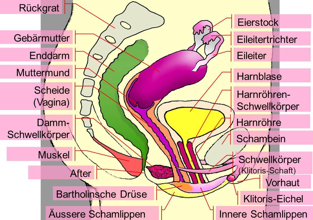 Rückgrat Muskel After Innere Schamlippen Äussere Schamlippen Eierstock Harnblase Harnröhre Muttermund Enddarm Schwellkörper (Klitoris-Schaft) Klitoris