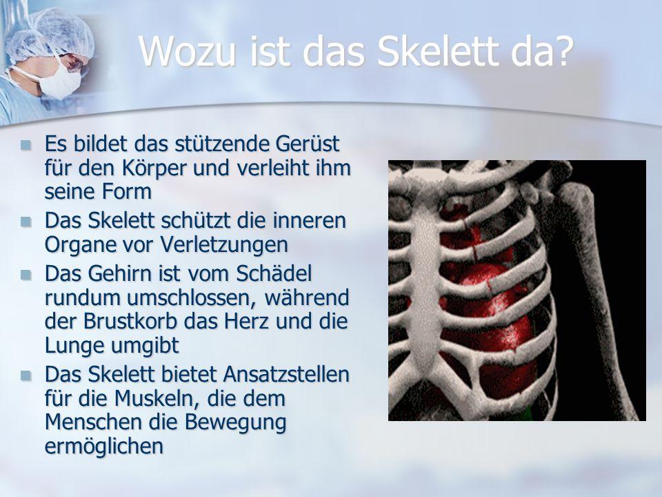 Das Skelett besteht aus folgenden Knochen: Schädel22 Knochen Schädel22 Knochen Rückenwirbel26 Knochen Rückenwirbel26 Knochen Brustbein03 Knochen Brust