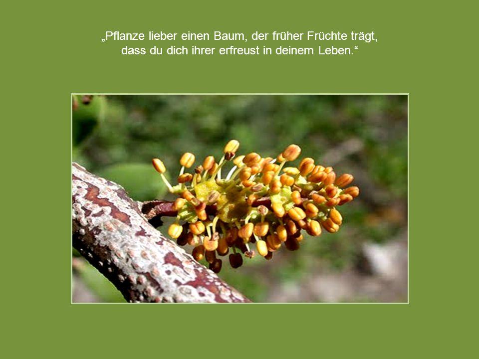 Pflanze lieber einen Baum, der früher Früchte trägt, dass du dich ihrer erfreust in deinem Leben.