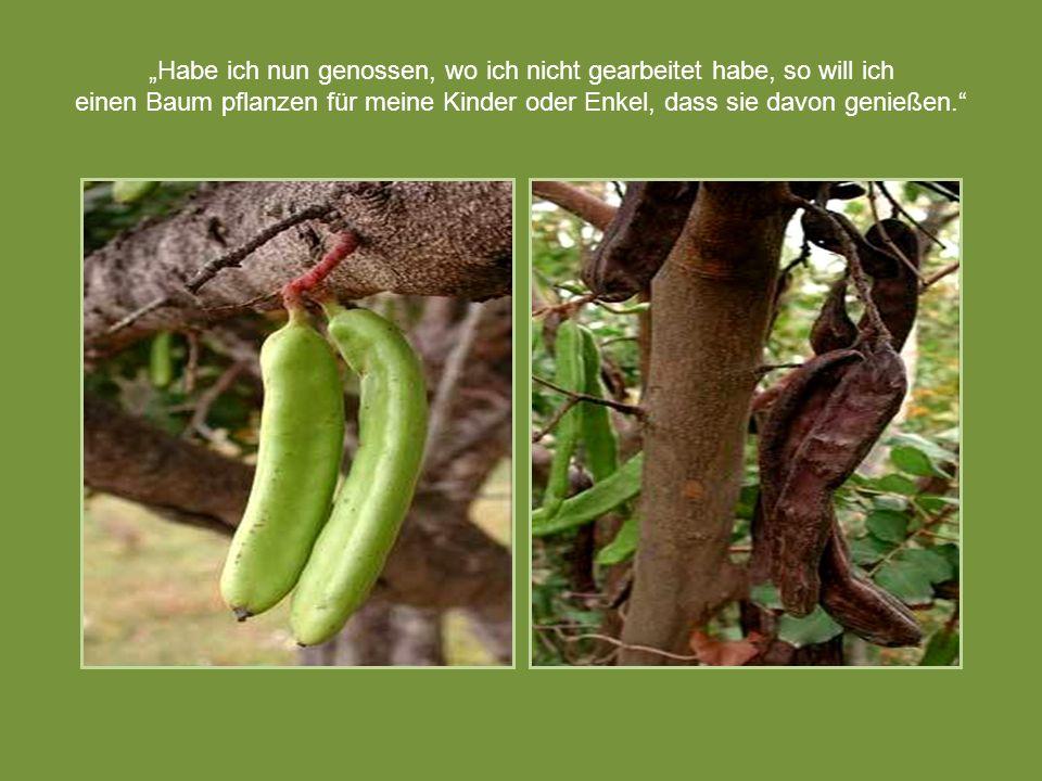 Rabbi, als ich zur Welt kam, da fand ich Johannisbrotbäume und aß von ihnen, ohne dass ich sie gepflanzt habe, denn das hatten meine Väter getan.