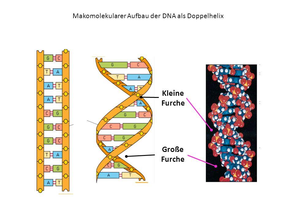 Makomolekularer Aufbau der DNA als Doppelhelix Kleine Furche Große Furche