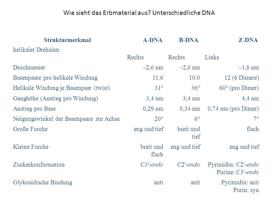 Wie sieht das Erbmaterial aus? Unterschiedliche DNA Strukturmerkmal A-DNA B-DNA Z-DNA helikaler Drehsinn Rechts Links Durchmesser~2,6 nm~2,0 nm~1,8 nm