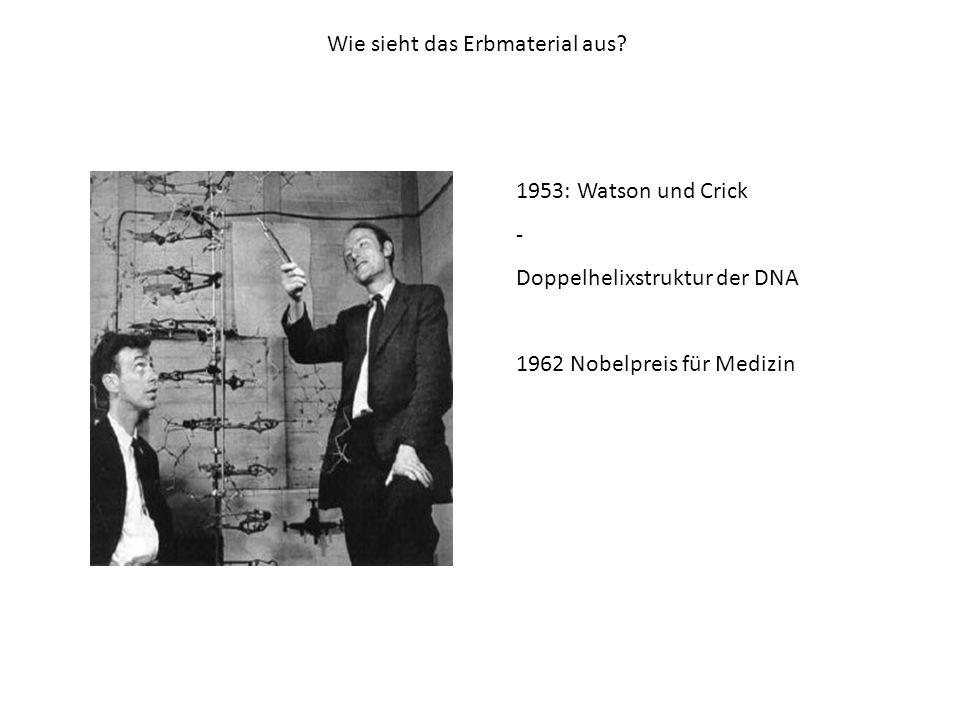 Wie sieht das Erbmaterial aus? 1953: Watson und Crick - Doppelhelixstruktur der DNA 1962 Nobelpreis für Medizin