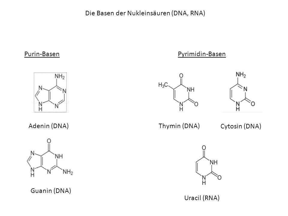 Die Basen der Nukleinsäuren (DNA, RNA) Purin-Basen Adenin (DNA) Guanin (DNA) Pyrimidin-Basen Thymin (DNA) Cytosin (DNA) Uracil (RNA)